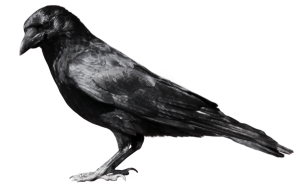 crow_PNG3098
